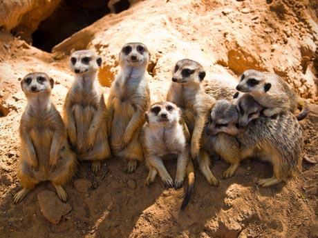 meerkats09_460x345
